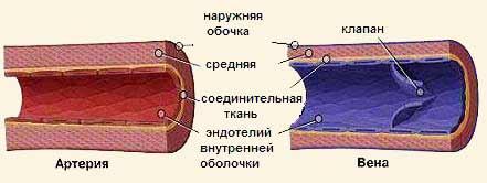 Какого цвета артериальная кровь и венозная